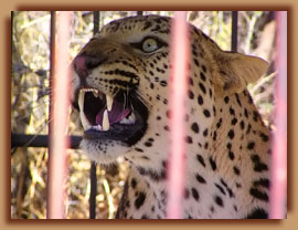 Captured problem leopard