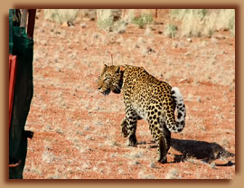 Released collared leopard